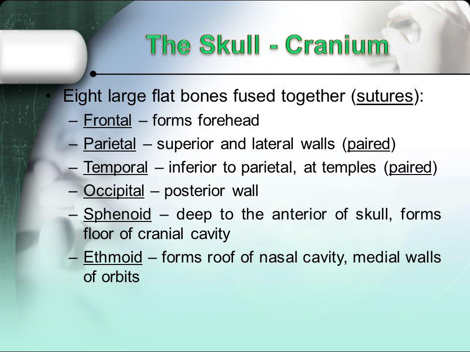 The Skull - Cranium Eight large flat bones fused together (sutures):