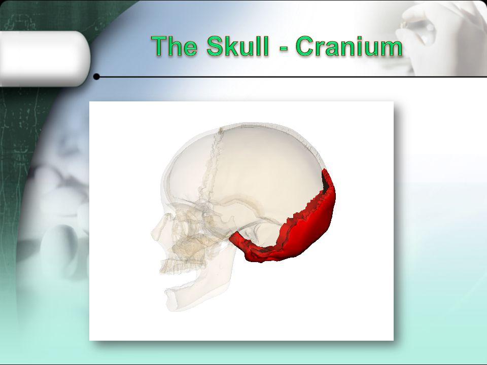 The Skull - Cranium