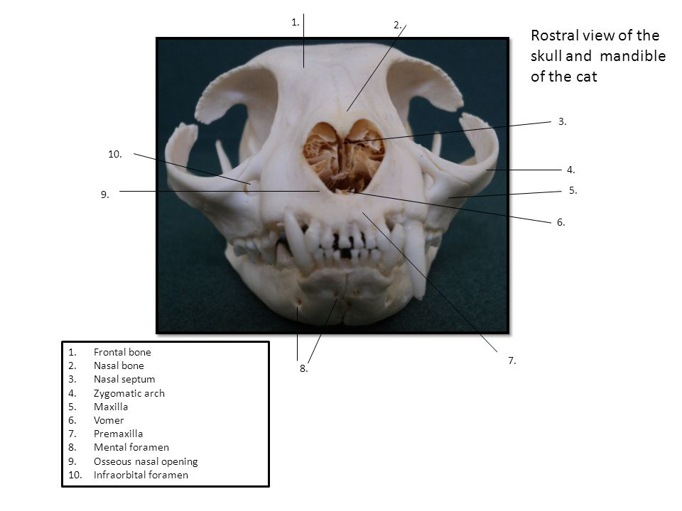 Rostral view of the skull and mandible of the cat