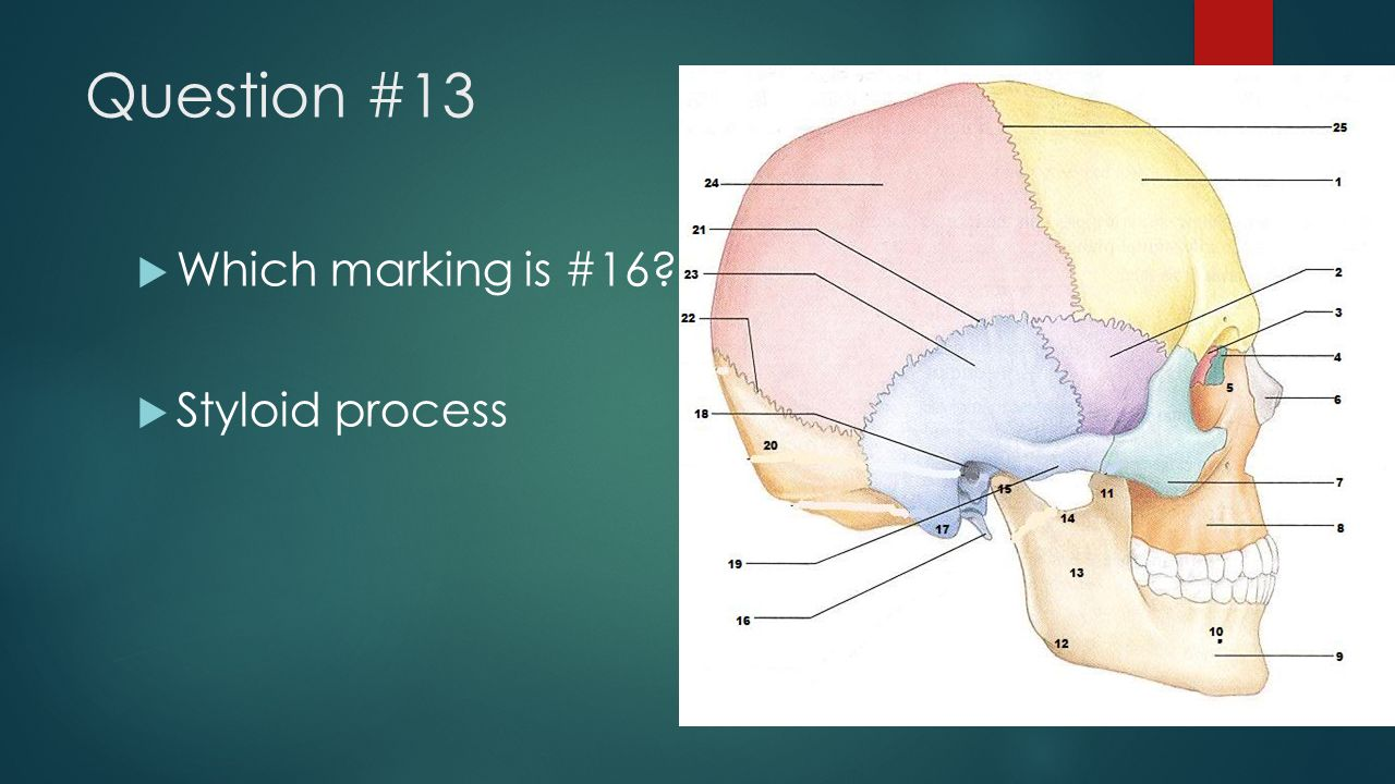 Question #13 Which marking is #16 Styloid process