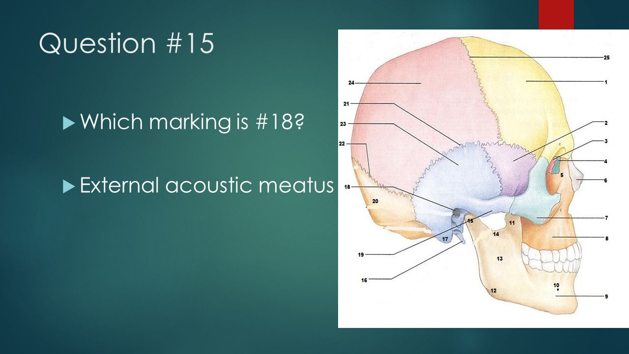 Question #15 Which marking is #18 External acoustic meatus