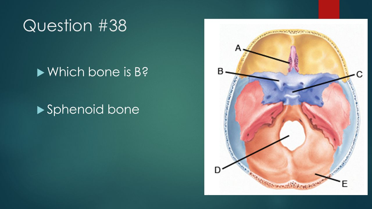 Question #38 Which bone is B Sphenoid bone