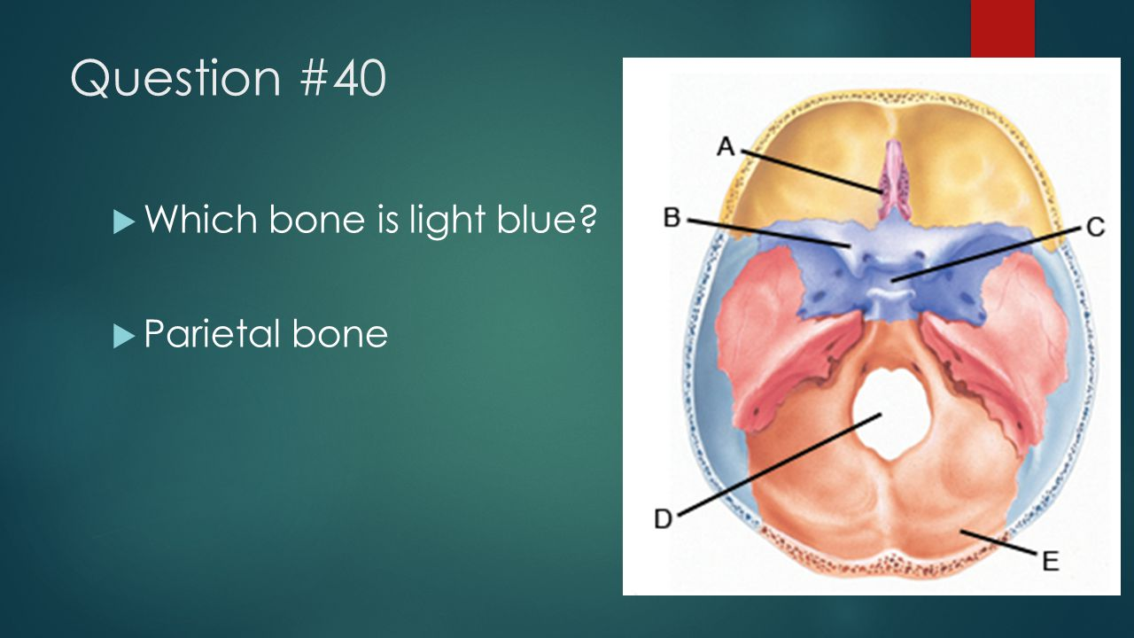 Question #40 Which bone is light blue Parietal bone