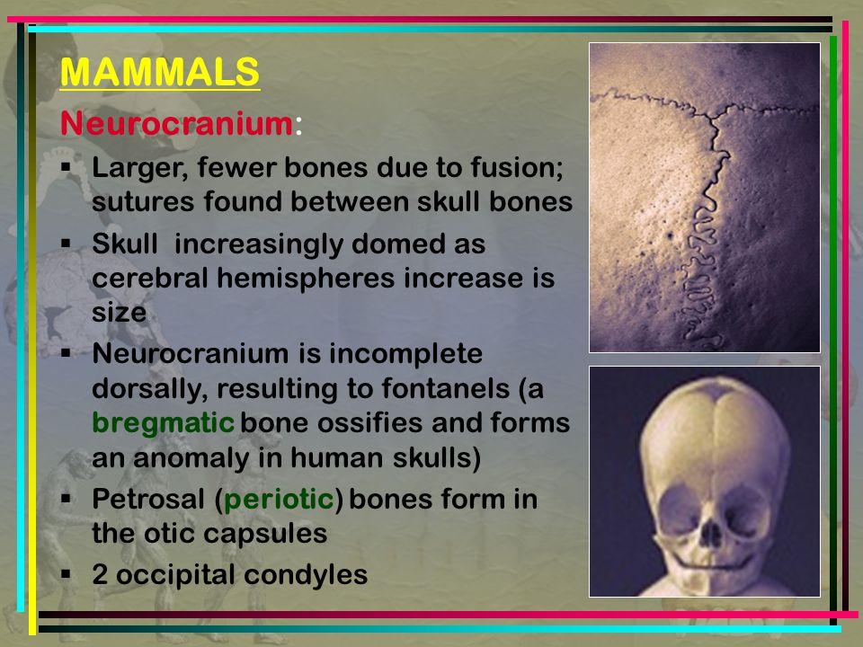MAMMALS Neurocranium: