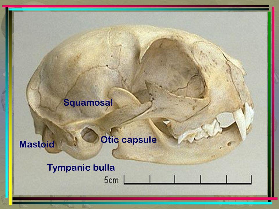 Squamosal Otic capsule Mastoid Tympanic bulla