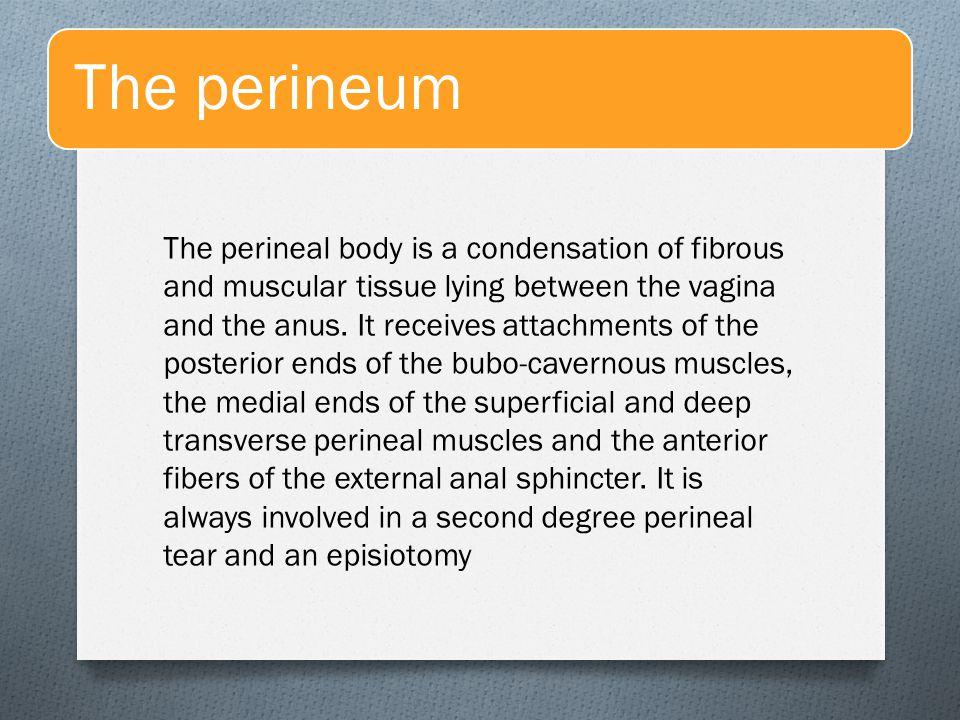 The perineum