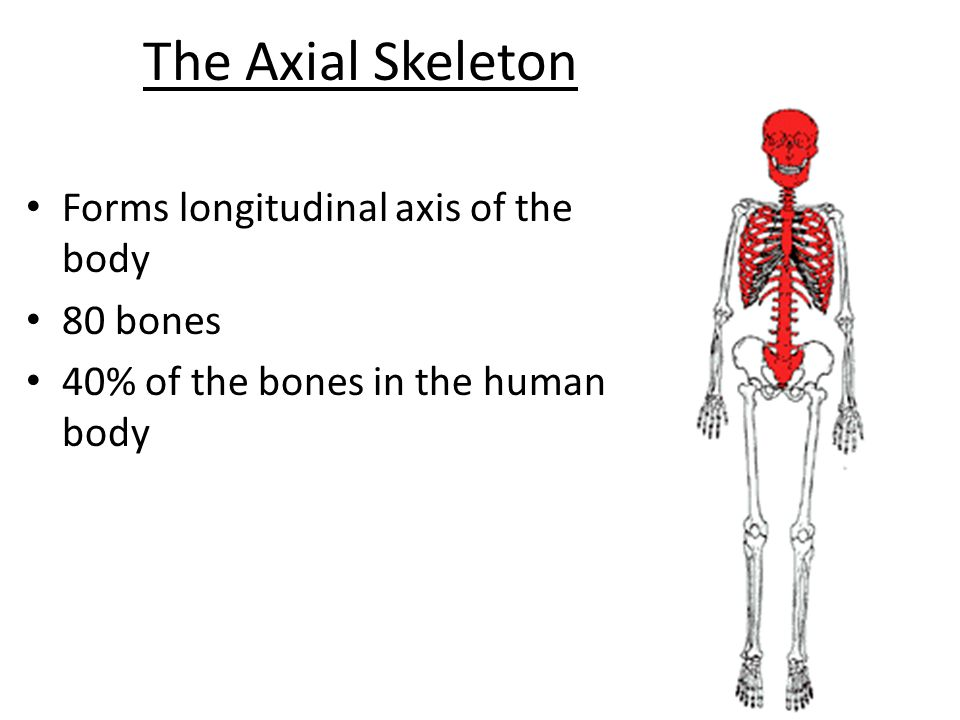 The Axial Skeleton Forms longitudinal axis of the body 80 bones ...