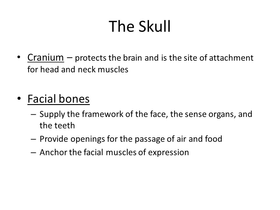The Skull Cranium – protects the brain and is the site of attachment for head and neck muscles. Facial bones.