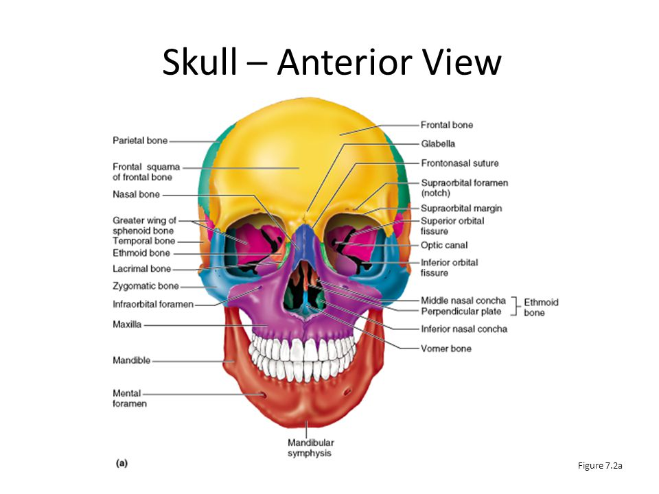 Skull – Anterior View Figure 7.2a
