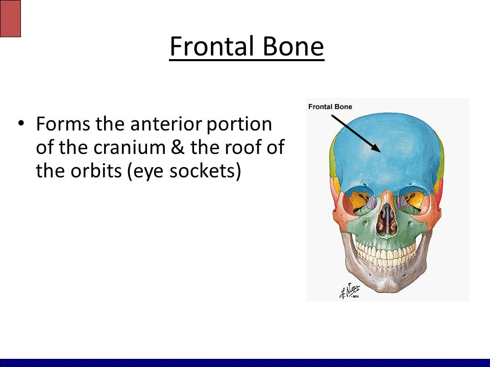 Frontal Bone Forms the anterior portion of the cranium & the roof of the orbits (eye sockets)