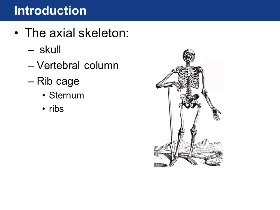 Introduction The axial skeleton: skull Vertebral column Rib cage