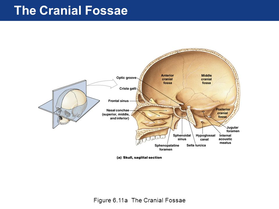 The Cranial Fossae Figure 6.11a The Cranial Fossae