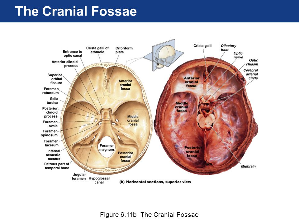 The Cranial Fossae Figure 6.11b The Cranial Fossae
