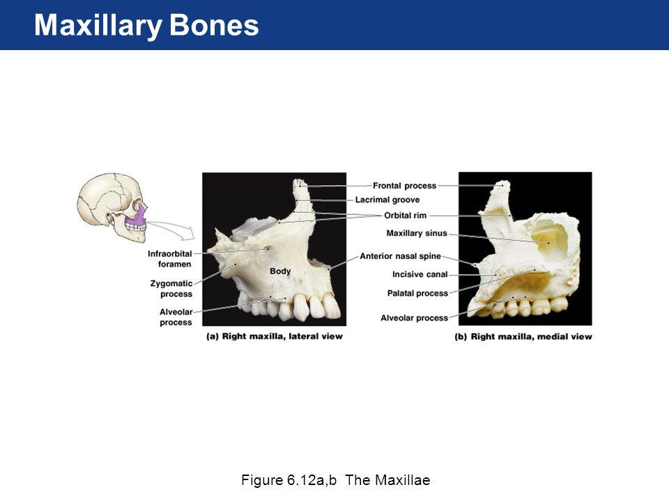 Maxillary Bones Figure 6.12a,b The Maxillae