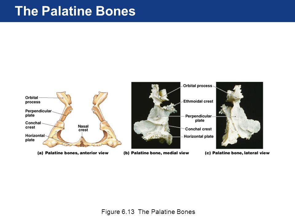 The Palatine Bones Figure 6.13 The Palatine Bones