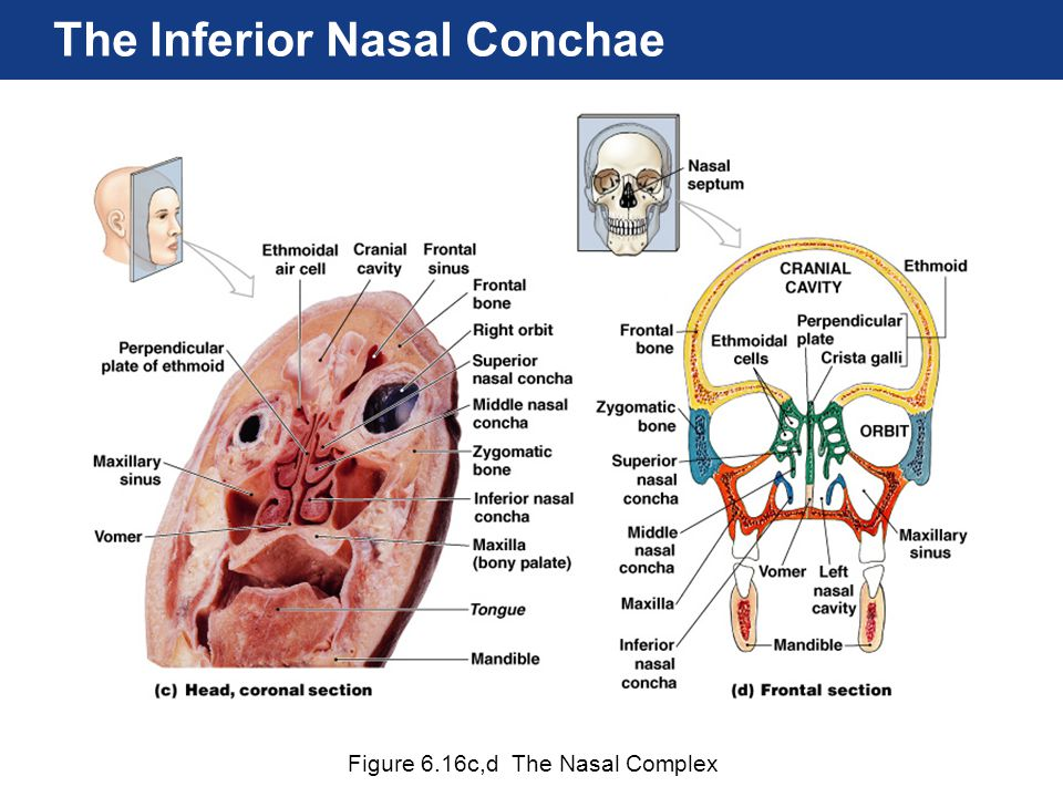 The Inferior Nasal Conchae