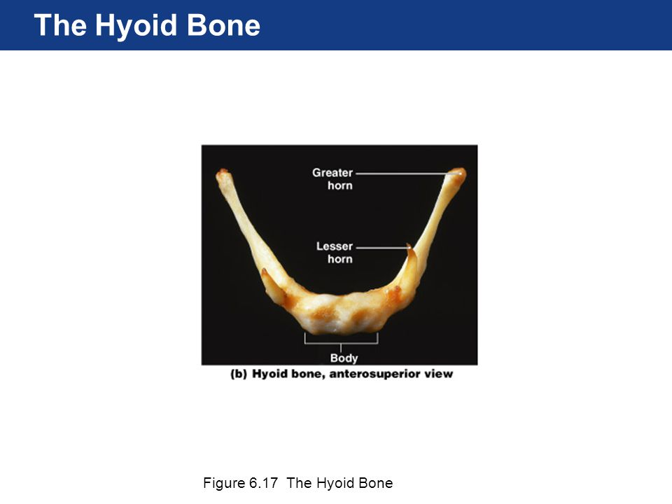 The Hyoid Bone Figure 6.17 The Hyoid Bone