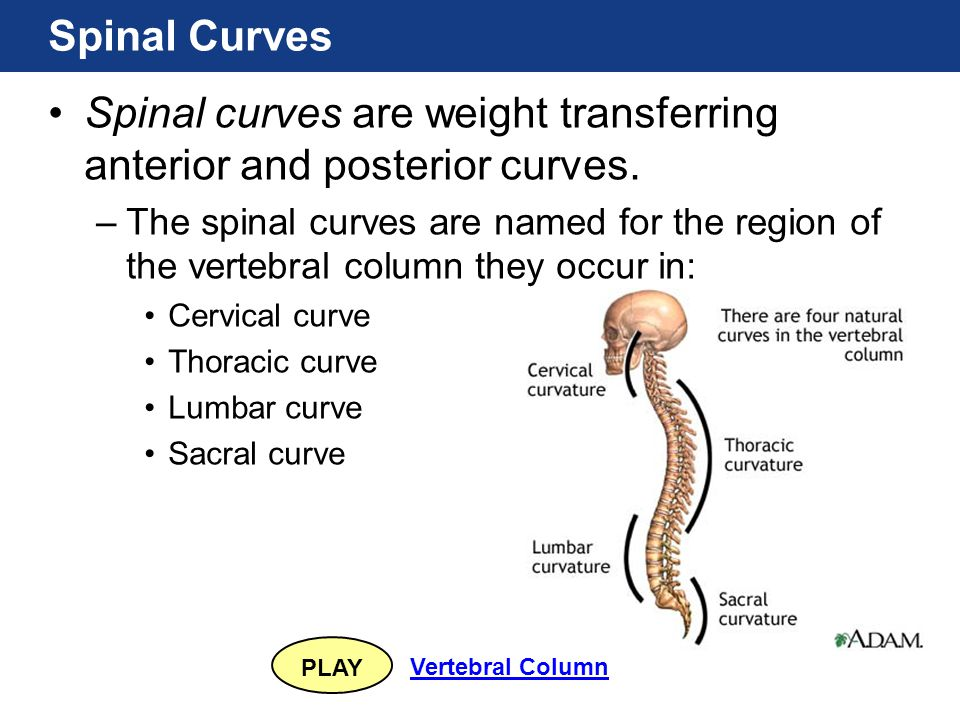 Spinal curves are weight transferring anterior and posterior curves.