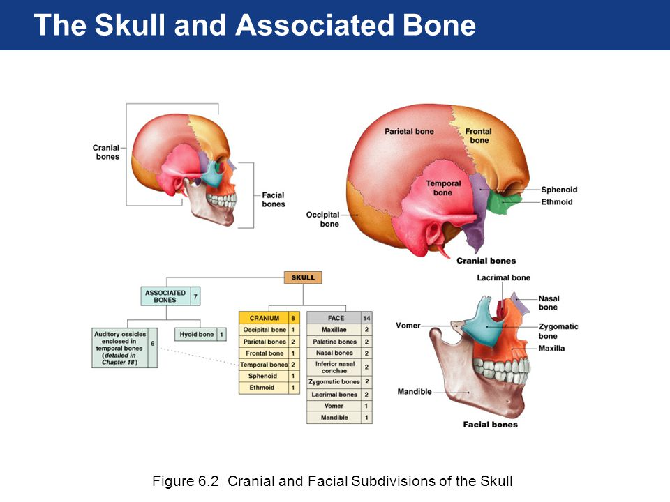 The Skull and Associated Bone