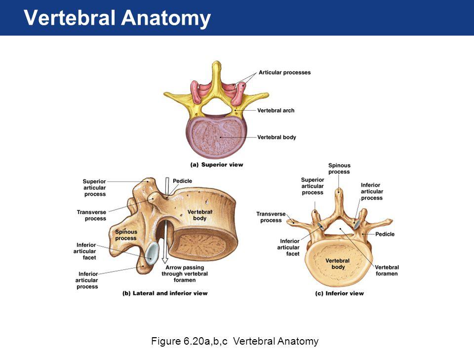Vertebral Anatomy Figure 6.20a,b,c Vertebral Anatomy