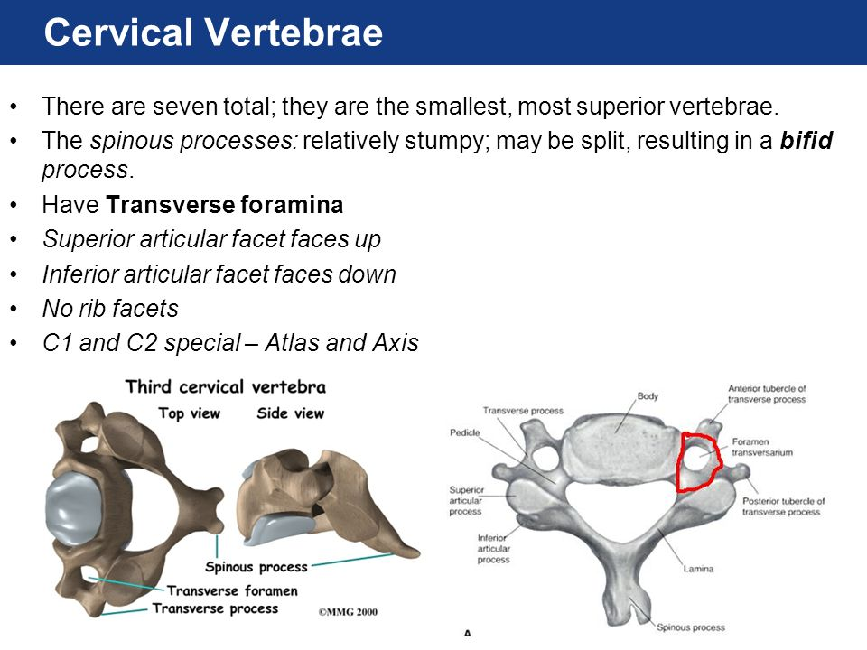 Cervical Vertebrae There are seven total; they are the smallest, most superior vertebrae.