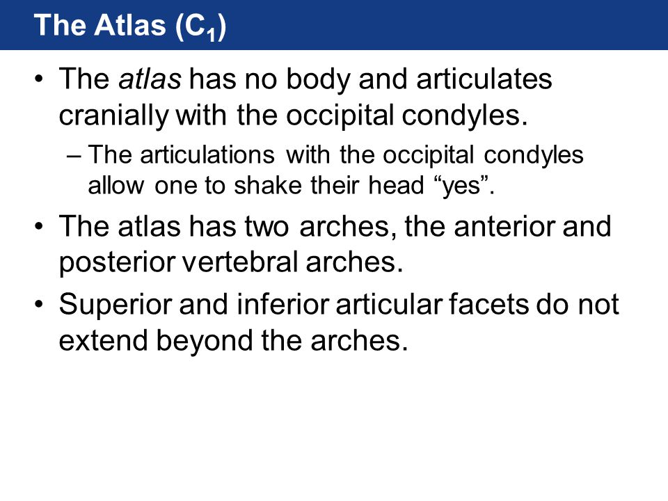 The atlas has two arches, the anterior and posterior vertebral arches.
