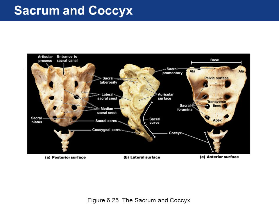 Sacrum and Coccyx Figure 6.25 The Sacrum and Coccyx