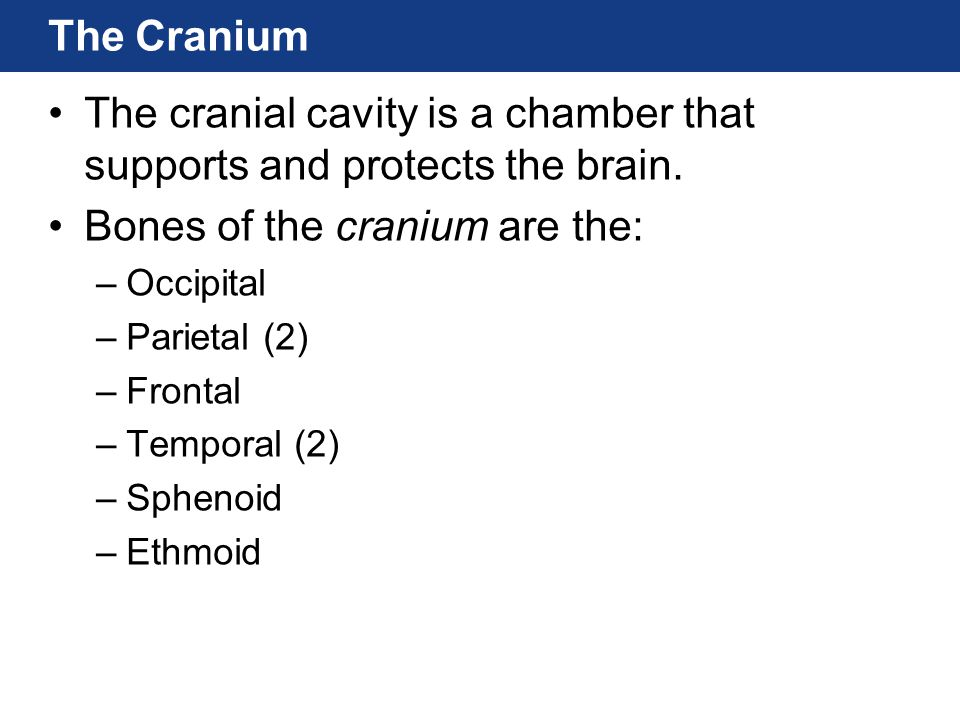 The cranial cavity is a chamber that supports and protects the brain.
