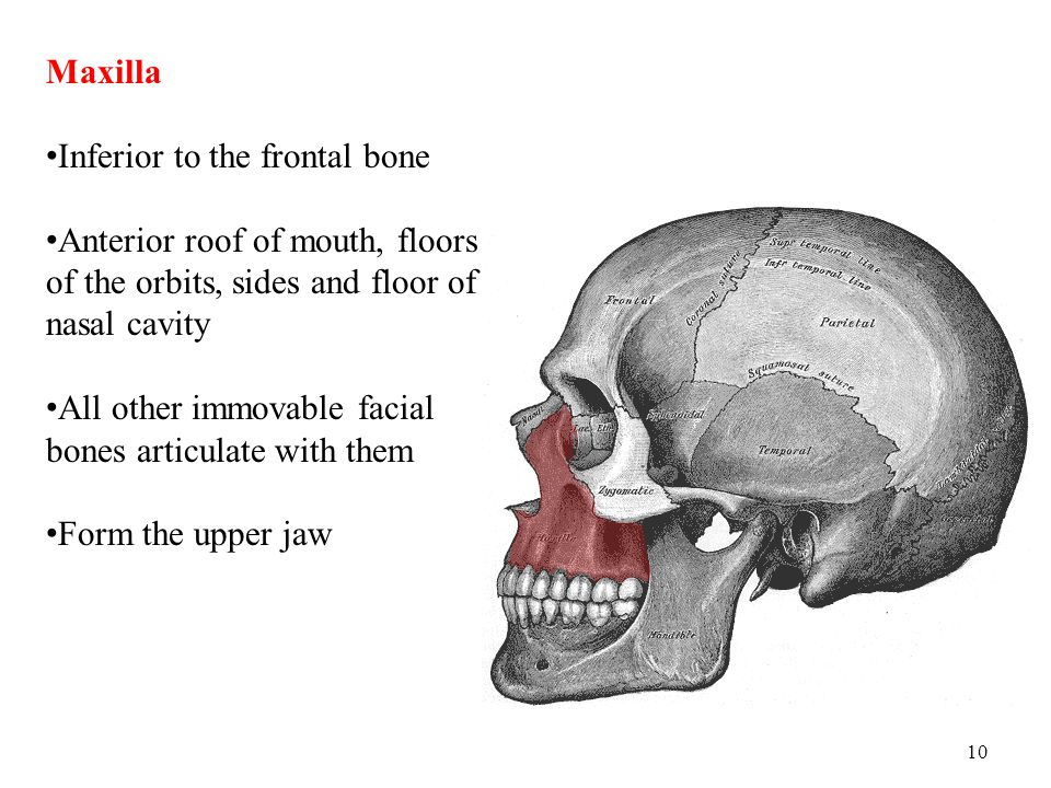 Maxilla Inferior to the frontal bone. Anterior roof of mouth, floors of the orbits, sides and floor of nasal cavity.
