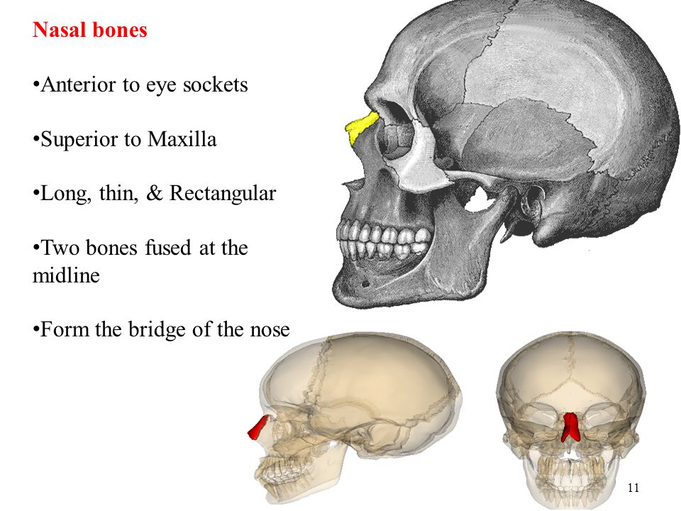 Nasal bones Anterior to eye sockets. Superior to Maxilla. Long, thin, & Rectangular. Two bones fused at the midline.
