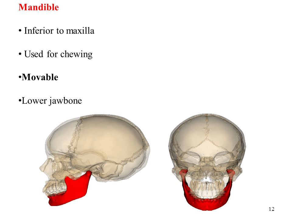 Mandible Inferior to maxilla Used for chewing Movable Lower jawbone
