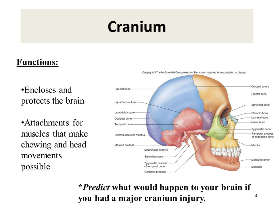 Cranium Functions: Encloses and protects the brain