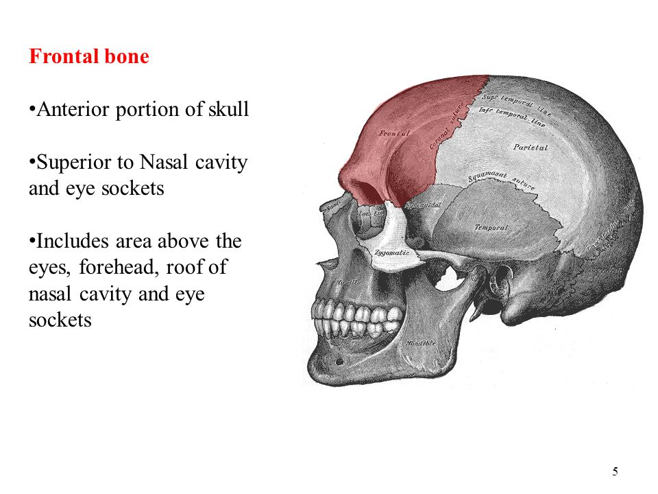 Frontal bone Anterior portion of skull. Superior to Nasal cavity and eye sockets.