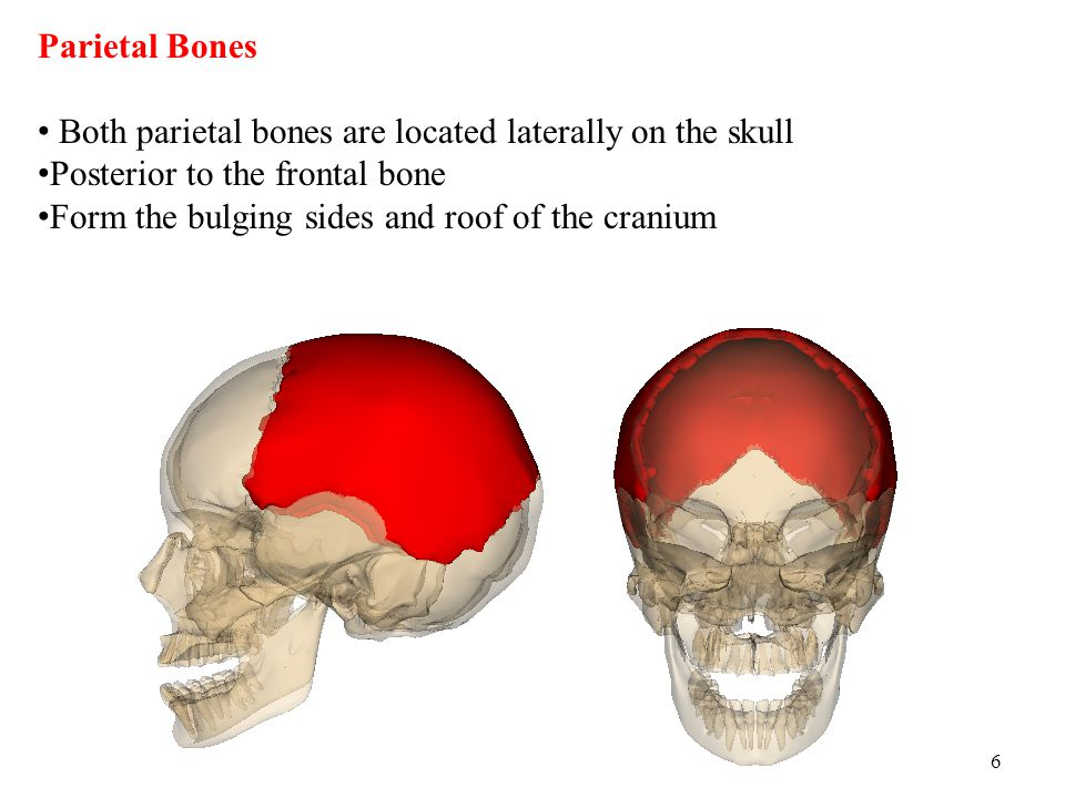 Parietal Bones Both parietal bones are located laterally on the skull. Posterior to the frontal bone.