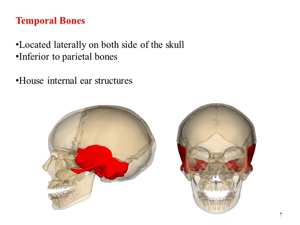 Temporal Bones Located laterally on both side of the skull.
