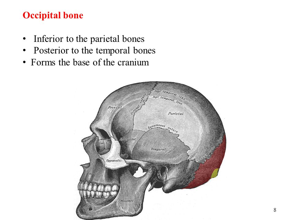 Occipital bone Inferior to the parietal bones. Posterior to the temporal bones.