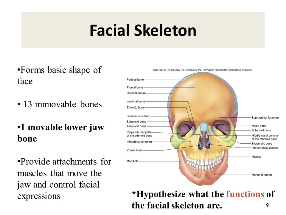 Facial Skeleton Forms basic shape of face 13 immovable bones