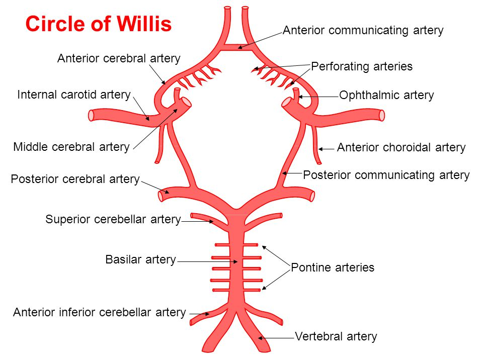 Circle of Willis Anterior communicating artery