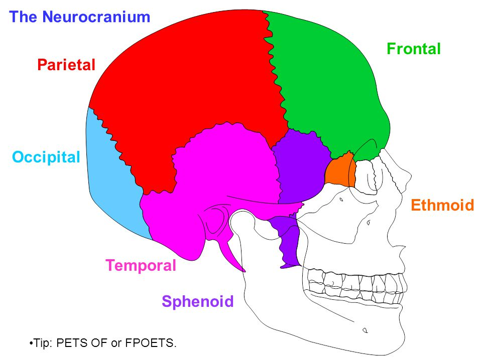 The Neurocranium Frontal Parietal Occipital Ethmoid Temporal Sphenoid