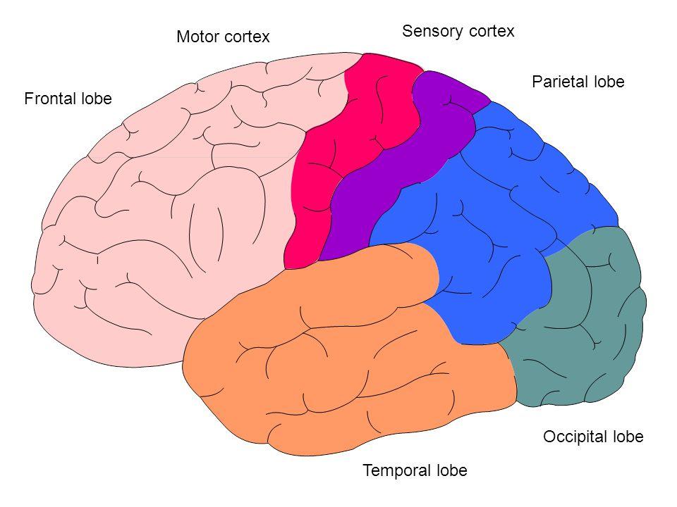 Sensory cortex Motor cortex Parietal lobe Frontal lobe Occipital lobe Temporal lobe