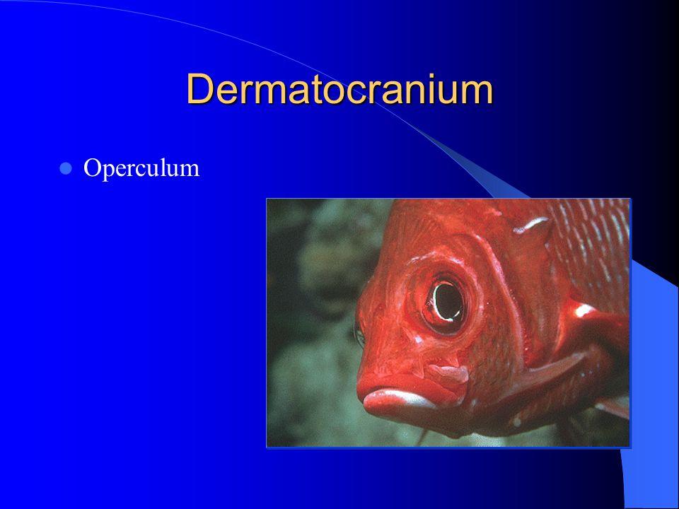 Dermatocranium Operculum