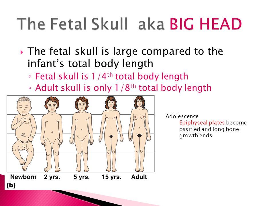 The Fetal Skull aka BIG HEAD