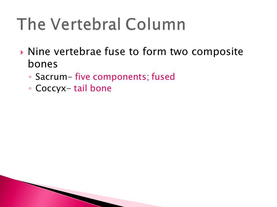 The Vertebral Column Nine vertebrae fuse to form two composite bones