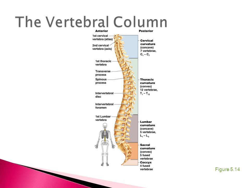 The Vertebral Column Figure 5.14
