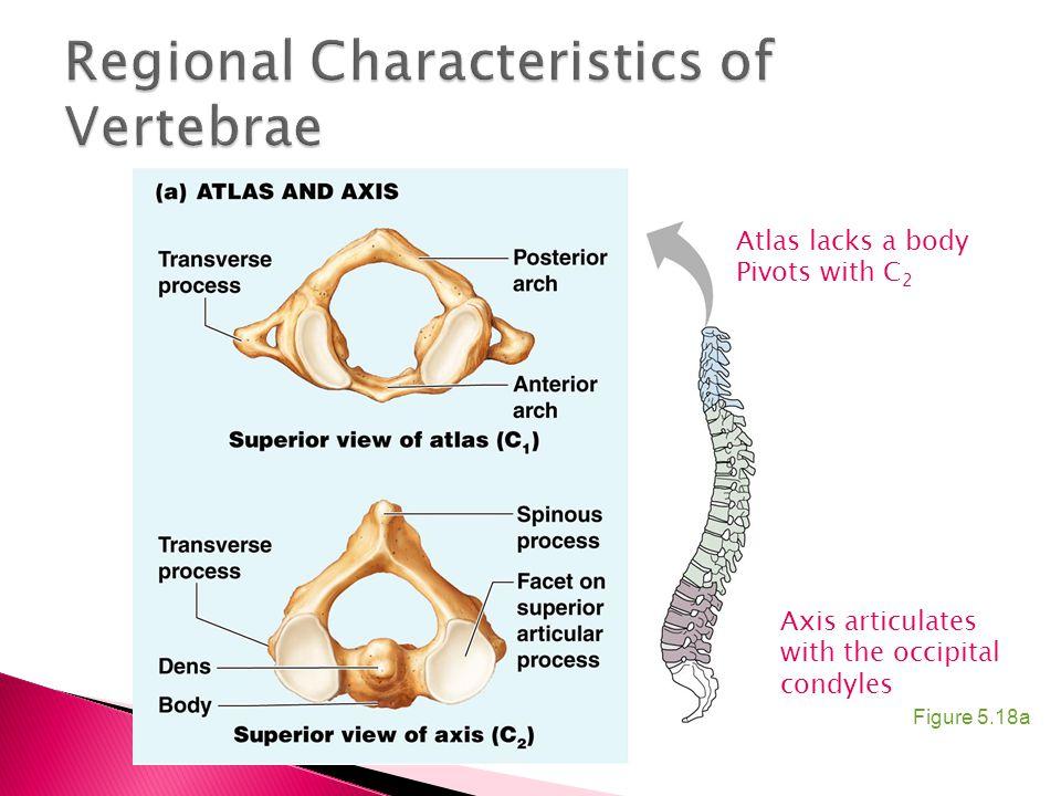 Regional Characteristics of Vertebrae
