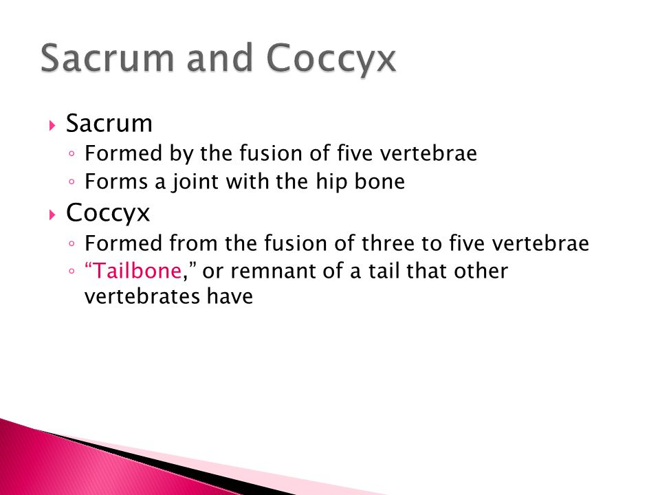 Sacrum and Coccyx Sacrum Coccyx Formed by the fusion of five vertebrae