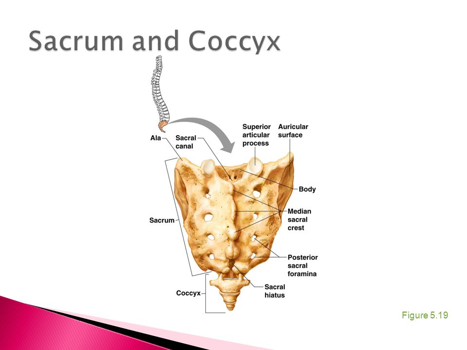 Sacrum and Coccyx Figure 5.19