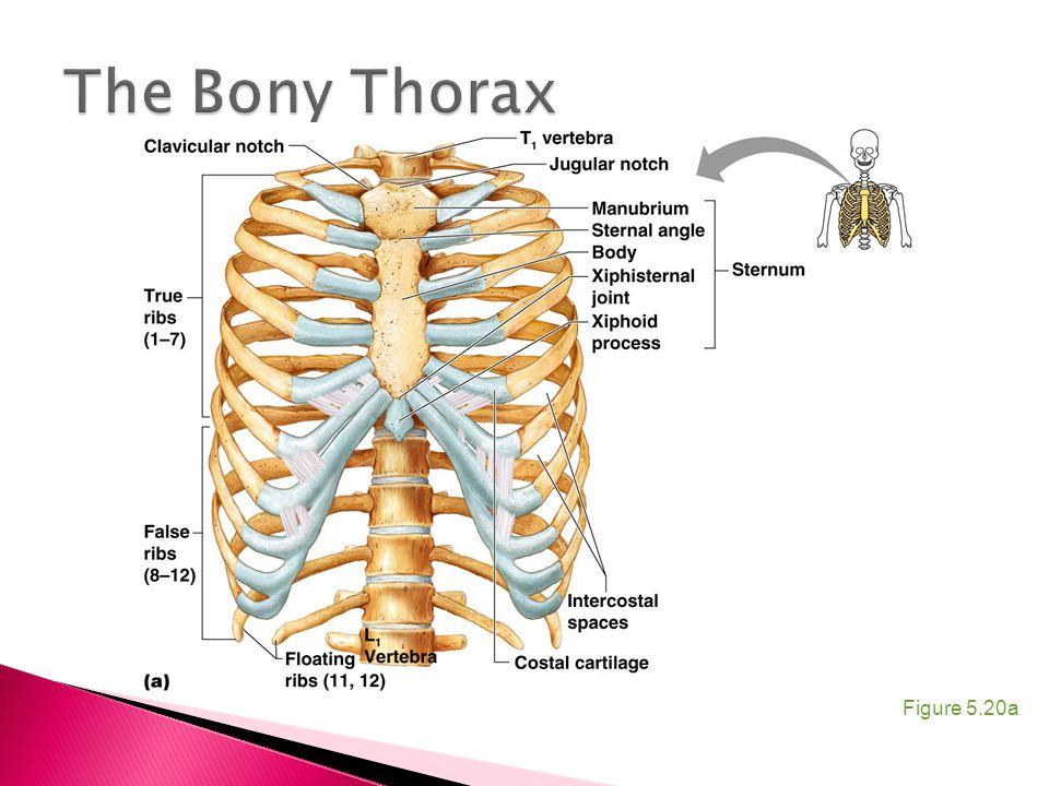 The Bony Thorax Figure 5.20a