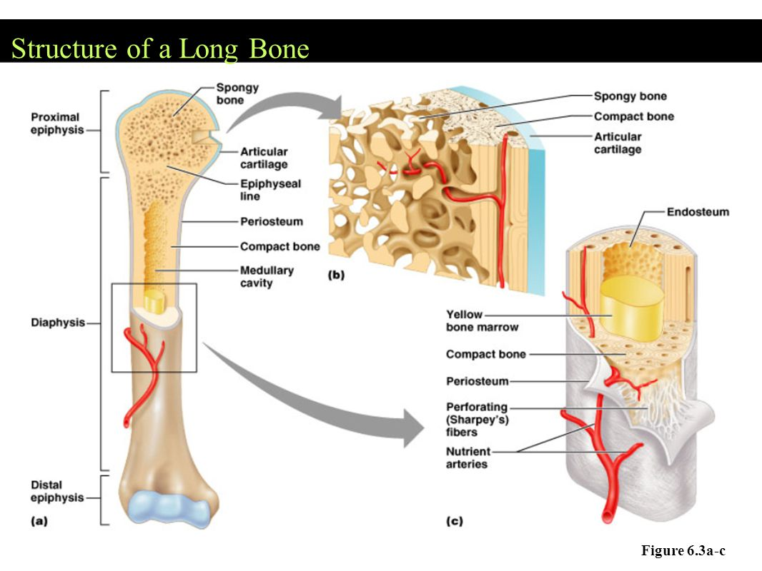 * Assignment – Coloring of a Long Bone