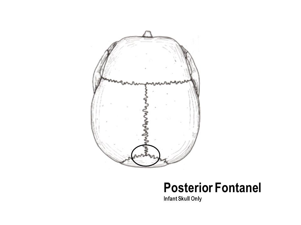 Posterior Fontanel Infant Skull Only